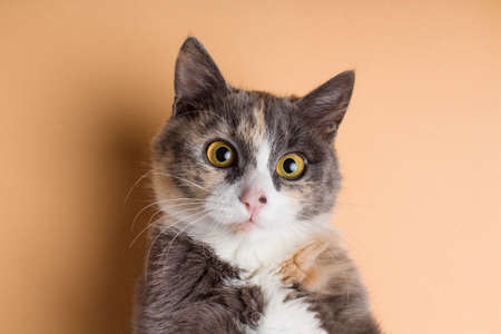 portrait of a funny scared cat, domestic pet on a studio background