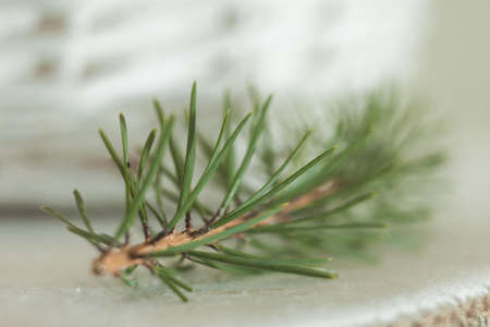prickles: Spruce branch in close-up macro Stock Photo