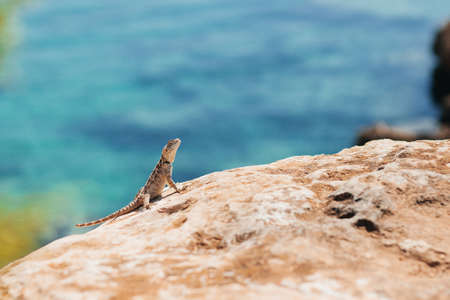 Small lizard standing on the stone shot from short distance with blue water on the background