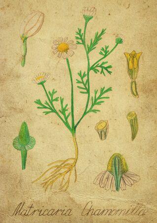 antiquity: Old botanical illustration chamomile. Effect of antiquity