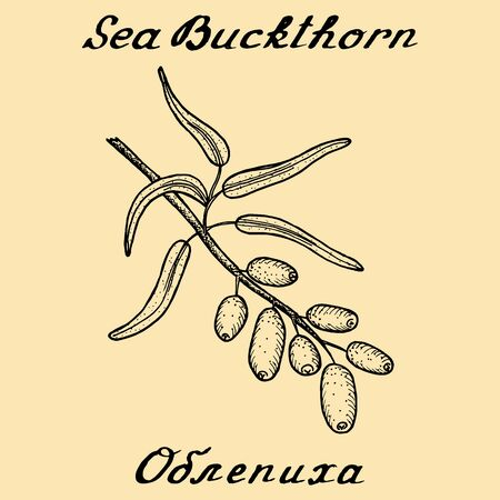 russian food: Sea buckthorn. In English and Russian texts. Eco Friendly. For labels, online stores. Natural cosmetic. Bio products. Food, spices