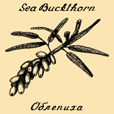 russian food: Sea buckthorn.  In English and Russian texts. Eco Friendly. For labels, online stores. Natural cosmetic. Bio products. Food, spices Illustration
