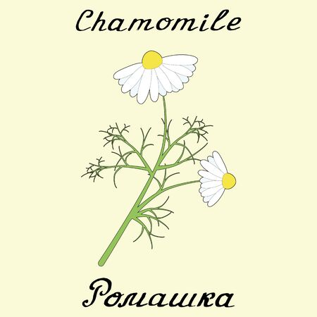 chamomile tea: Chamomile .English and Russian texts. Eco Friendly. For labels,online stores. Natural cosmetic. Bio products. Botanical sketch