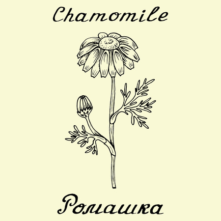 chamomile tea: Chamomile .English and Russian texts. Eco Friendly. For labels, online stores. Natural cosmetic. Bio products. Botanical sketch