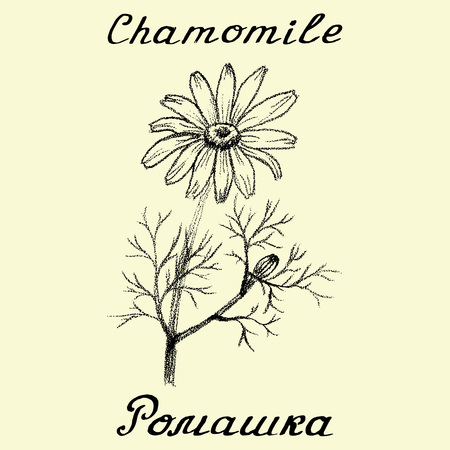 camomile tea: Chamomile . English and Russian texts. Eco Friendly. For labels,  online stores. Natural cosmetic. Bio products. Botanical sketch Illustration