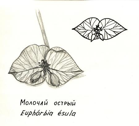 手描きの花ユーフォルビア Esula の。鉛筆画します。様式化されたインク描画