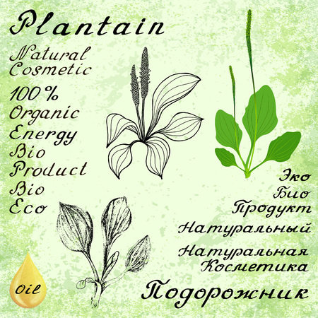 plantain: Plantain. set of 3 drawing and lettering. English and Russian texts. Natural cosmetic. Medicinal plant. For print, decoration, image, design, label, wrapping