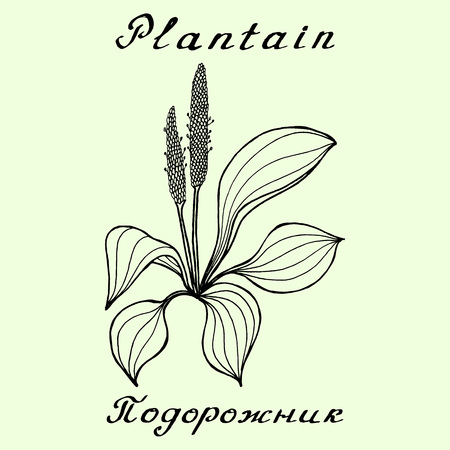 plantain: Plantain. Ink drawing and lettering. English and Russian texts. Natural cosmetic. Medicinal plant. Print - decoration - image - design - label - wrapping