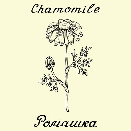chamomile tea: Chamomile. Drawing and lettering. English and Russian texts. Eco Friendly. For labels,  online stores. Natural cosmetic. Bio products. Botanical sketch
