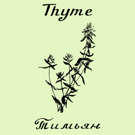 aromatic: thyme illustration. Botanical drawing. Pencil drawing. Inscriptions in English and Russian languages. Illustration