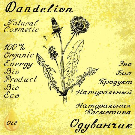 medical herbs: Dandelion sketch botanical illustration. drawing. Medical herbs. Lettering in English and Russian languages. Grunge background. Oil drop Illustration