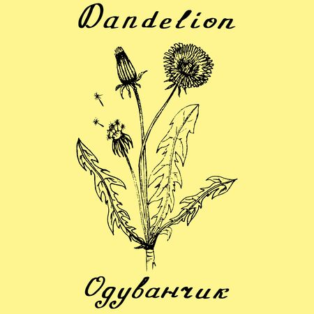 homeopathic: Dandelion hand drawn sketch botanical illustration. Medical herbs. Lettering in English and Russian languages