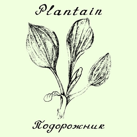 plantain: Plantain. Pencil drawing and hand-lettering. English and Russian texts. Natural cosmetic. Medicinal plant. Print - decoration - image - design - label - wrapping