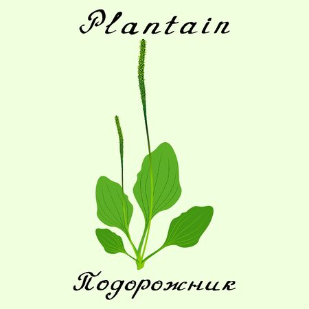 plantain: Plantain. Drawing and hand-lettering. English and Russian texts. Natural cosmetic. Medicinal plant. Print - decoration - image - design - label - wrapping Stock Photo