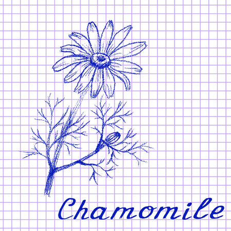 medical drawing: Chamomile. Botanical drawing on exercise book background. Vector illustration. Medical herbs