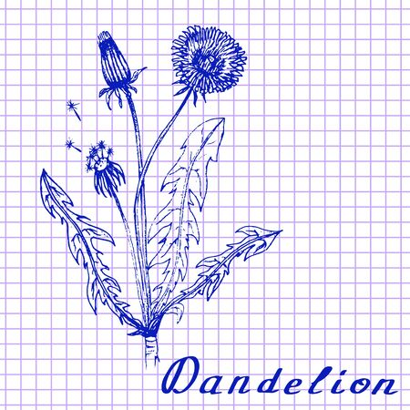 medical drawing: Dandelion. Botanical drawing on exercise book background. Vector illustration. Medical herbs Stock Photo