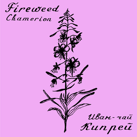 medical herbs: Cyprus angustifolia, Epilobium, Willow herb, Chamerion angustifolium, fireweed, rosebay hand drawn sketch botanical illustration. Medical herbs. Lettering in English and Russian languages Stock Photo