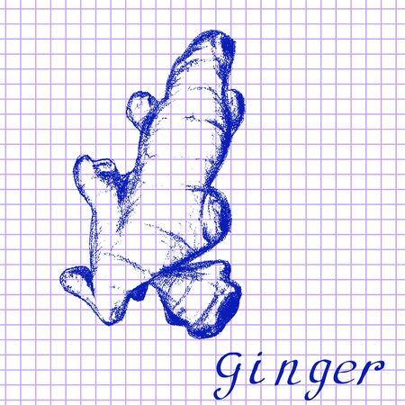 medical drawing: Ginger. Botanical drawing on exercise book background. Vector illustration. Medical herbs