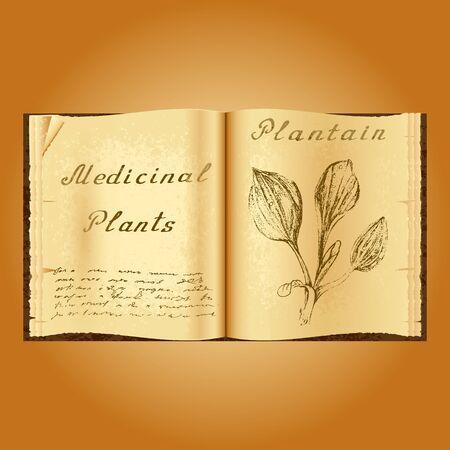 herbolaria: Plátano. Ejemplo botánico. plantas medicinales. Viejo herbolario libro abierto. fondo del grunge. ilustración vectorial