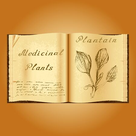 plantain: Plantain. Botanical illustration. Medical plants. Old open book herbalist. Grunge background. Vector illustration Illustration