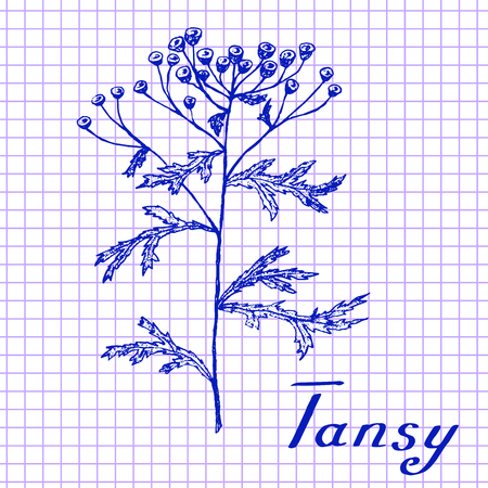 medical drawing: Tansy. Botanical drawing on exercise book background. Vector illustration. Medical herbs Illustration