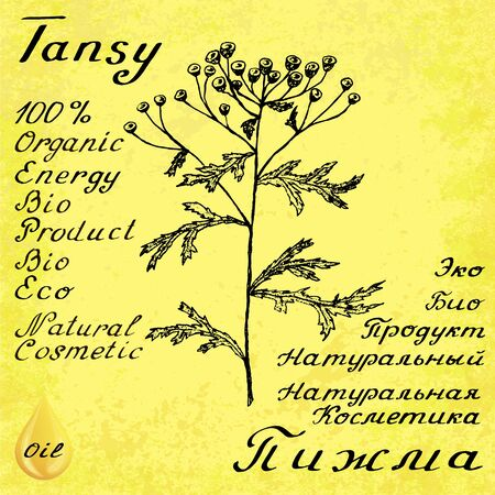 medical drawing: Tansy hand drawn sketch botanical illustration. Vector drawing. Medical herbs. Lettering in English and Russian languages. Grunge background. Oil drop Illustration