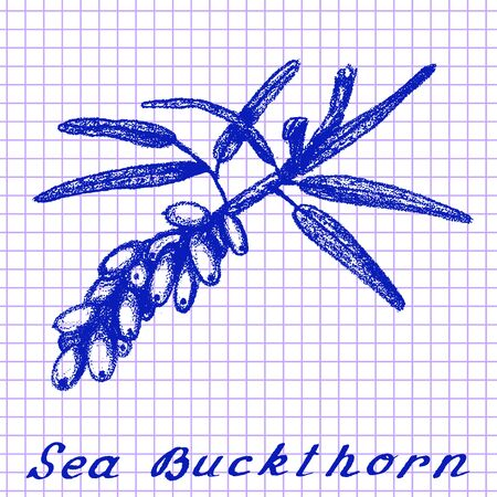medical drawing: Sea buckthorn. Botanical drawing on exercise book background. Vector illustration. Medical herbs Illustration