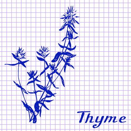 medical drawing: Thyme. Botanical drawing on exercise book background. Vector illustration. Medical herbs
