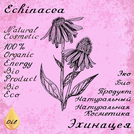Echinacea hand drawn sketch botanical illustration. Vector drawing. Medical herbs. Lettering in English and Russian languages. Grunge background. Oil drop Illustration