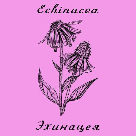 medical drawing: Echinacea hand drawn sketch botanical illustration. Vector drawing. Medical herbs. Lettering in English and Russian