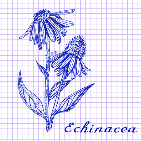 medical drawing: Echinacea. Botanical drawing on exercise book background. Vector illustration. Medical herbs
