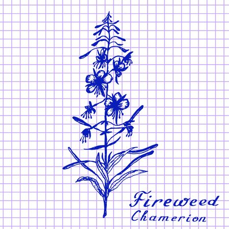 medical drawing: Fireweed. Botanical drawing on exercise book background. Medical herbs