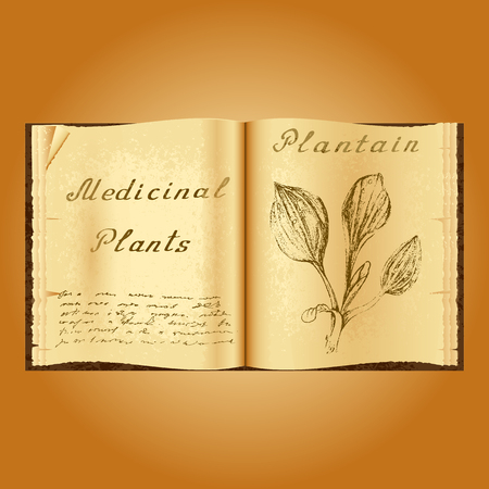 plantain: Plantain. Botanical illustration. Medical plants. Old open book herbalist. Grunge background