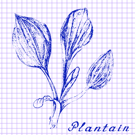 plantain: Plantain. Botanical drawing on exercise book background. Medical herbs