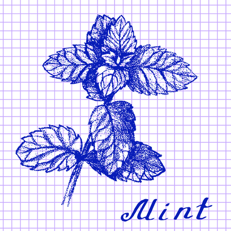 medical drawing: Mint. Botanical drawing on exercise book background. Medical herbs Stock Photo