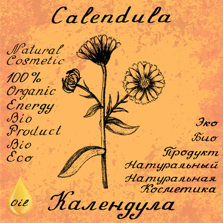 calendula: Calendula hand drawn sketch botanical illustration. Vector illustation. Medical herbs. Lettering in English and Russian languages. Grunge background. Oil drop