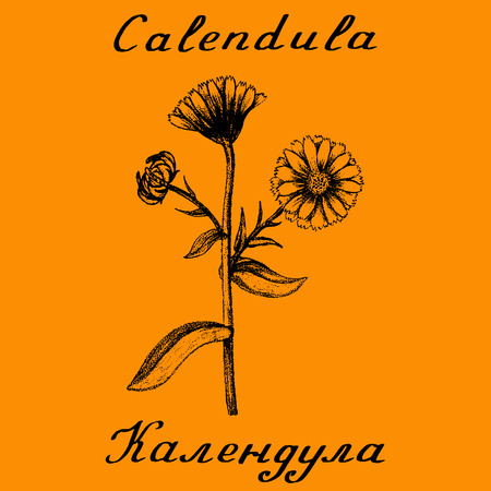 curative: Calendula hand drawn botanical illustration. Vector illustation. Medical herbs. Lettering in English and Russian languages
