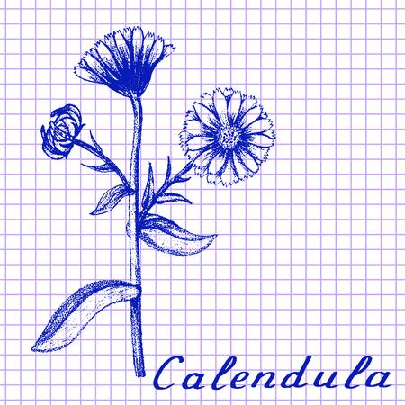 calendula: Calendula. Botanical drawing on exercise book background. Vector illustration. Medical herbs Illustration