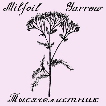 Yarrow Achillea millefolium drawn sketch botanical illustration. illustation. Medical herbs. Lettering in English and Russian languages Illustration