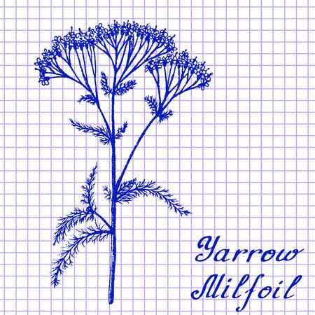 medical herbs: Yarrow Achillea millefolium . Botanical drawing on exercise book background. illustration. Medical herbs