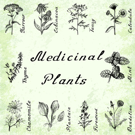 medical drawing: set of 10 drawings of plants - yarrow, echinacea, tansy, calendula, thyme, mint, chamomile, plantain, fireweeed dandelion drawing pencil Green grunge background