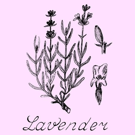 officinalis: Lavender hand drawn sketch botanical illustration. Vector illustation. Medical herbs. Lettering in English and Russian languages