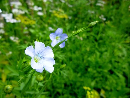 Flowering blue flax. Agriculture. Medicinal herbs. Flowers and buds