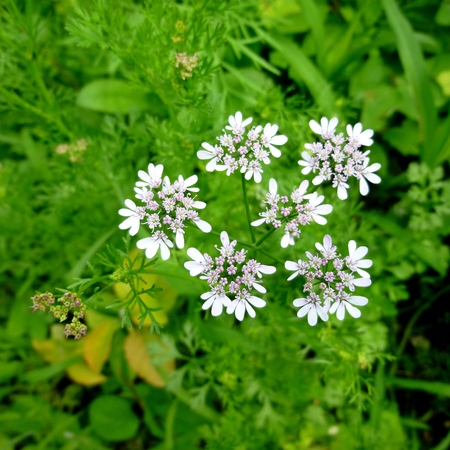 white flower on cilantro plant. Vegetable garden plants. Natural products. Condiments