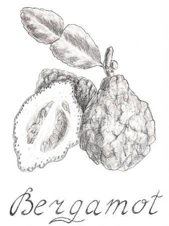 Bergamot Hand drawn sketch style. On a white background. Food, organic, raw. Citrus fruit. Tea Earl Grey. Essential oil, perfumes, aromatherapy Stock Photo