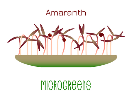Microgreens Red Amaranth. Sprouts in a bowl. Sprouting seeds of a plant. Vitamin supplement, vegan food
