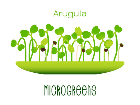 Microgreens Arugula. Sprouts in a bowl. Sprouting seeds of a plant. Vitamin supplement, vegan food
