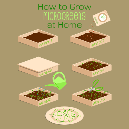 Infographic how to grow microgreens at home. Six steps to grow microgreen in a box with soil. Packaging Design seeds, microgreens , sprouters Illustration