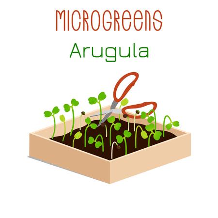 Microgreens Arugula. Grow microgreen in a box with soil. Cutting the harvest with scissors. Vitamin supplement, vegan food Foto de archivo - 125298476