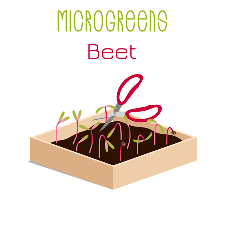 Microgreens Beet. Grow microgreen in a box with soil. Cutting the harvest with scissors. Vitamin supplement, vegan food Foto de archivo - 125092063